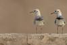 الاخوان -- النورس (N-S-S) Tags: bird birds nikon sigma kuwait nikkor مركز nasser 800mm الكويت nss كويت طير عصفور vwc طيور نورس ناصر العمل نيكون جن طائر عصافير التطوعي kvwc سيجما الصليهم alsolihem