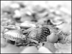 Sarasota Shells (Natasja ❤) Tags: blackandwhite bw usa shells white black beach america canon key florida shell beachlife powershot sarasota g3 zwart wit lido canonpowershotg3 anawesomeshot