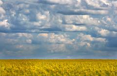 Rape fields of Alberta 2 (josefontheroad) Tags: canada alberta rapefield newacademy vanagram