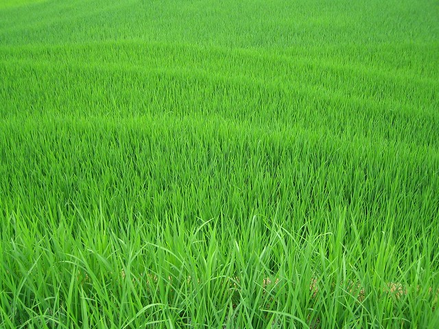 Very green rice padi field, sapa