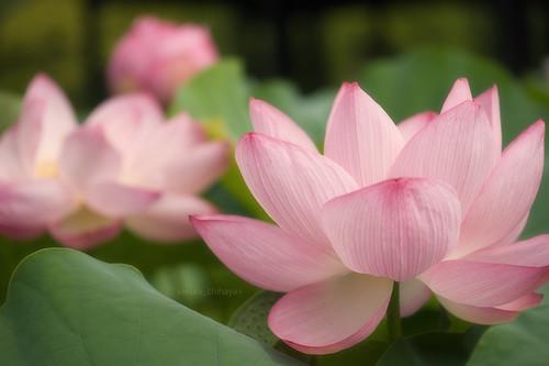 2446 : Lotus2008#2