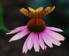 Butterfly-Moth on Cone Flower (Don Iannone) Tags: flowers searchthebest lampshade glassware butterflyplant bej nikond80 cordialglasses doniannone parrotlamp mayfieldvillageohio