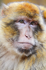 Portrait of a macaque (Tambako the Jaguar) Tags: portrait france face closeup zoo monkey furry nikon serious head calm serenity ape brave relaxed primate macaque d300 insightful amnville abigfave impressedbeauty photofaceoffwinner pfogold goldstaraward fickrlovers peachofashot thehairysideofnature highqualityanimals
