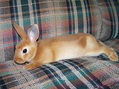First out of cage flop! (jess sully) Tags: red baby cute bunny little adorable mini relaxed rex laying flopped