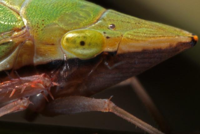 Sharpshooter Leafhopper (Draeculacephala zeae)