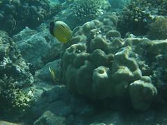 Pez mariposa exquisito / Exquisite butterflyfish (Chaetodon austriacus) (copepodo) Tags: fauna redsea diving jordan aqaba buceo jordania submarinismo marrojo