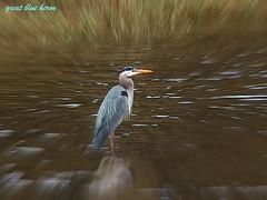 Great Blue Heron (Garry's lens....) Tags: summer bird heron nature water beauty river outdoors pretty beautifulmonsters thewonderfulworldofbirds