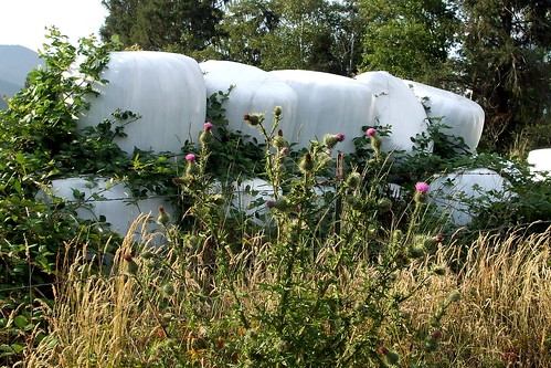 Ag Bags, Blackberries and Thistle