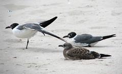 Seagull Stretch (zxgirl) Tags: trip vacation seagulls bird beach birds newjersey sand zoom seagull nj stretch balance s5 beachhaven img2097c