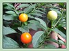 Solanum pseudocapsicum (Jerusalem Cherry, Christmas/Winter Cherry, Madeira Cherry, Coral Bush)