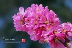 2008_03310001 (chinaphila) Tags: flower flora prunus cerasus rosaceae