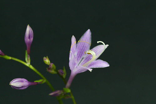 Hosta Flower, Unedited