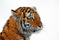 Zoo de Granby (meunierd) Tags: blue winter wild sky mountain canada ski montagne landscape zoo cub colombia bc tiger hiver bleu ciel amour british granby paysage tigre roch blackcomb amur sauvage potofgold colombie whisler myowncreation britanique goldstaraward worldwidelandscapes meunierd