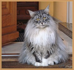 Hallo allerseits, ich wohne hier ! - Hi folks, Im living here ! (Jorbasa) Tags: pet macro smart animal cat germany deutschland bestof hessen maine longhair coon mainecoon maxwell katze kater wetterau cc100 jorbasa blackclassicsilvertabby