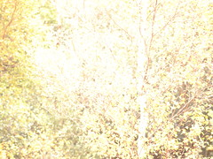 Woodland Texture (basswulf) Tags: wallpaper colour tree texture leaves yellow lenstagged bright gimp overexposed birch 43 betula digitaldarkroom d40 200809 camerasetting:aperture=f56 vivitar90mmf25macro permissions:licence=ccatncsa 2400x1800 20080930 dps:assignment=textures image:ratio=43 releaseaiweiwei