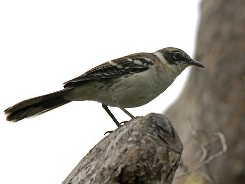 Galapagos Mockingbird (Nesomimus parvulus) by kookr.