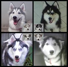 Huskimo Puppies (update) (Scott Kinmartin) Tags: dog puppy puppies husky doggies americaneskimo huskimo