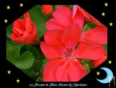 P2030402 BEAUTY IN RED --- GERANIUMS IN THE (STARS-MOON FRAME) (Frozen in Time photos by Marianne AWAY OFF/ON) Tags: flowers red flower nature geraniums redflowers flowerpix framedphotos redgeraniums grandmasflowers nationalgeographicwannabes floweraddicts faithfulflickrfriends ilovemypics flowersarefabulous natureunlimitedpublicgroupforever photowatermarkframes flickrflorescloseupmacros naturegreenstar theflowerbasket nationalgeographiswannabes