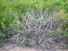 Plant 3 (cobalt.penguin) Tags: beach dunes sydney peninsula avalon barranjoey