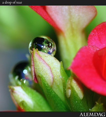 A Drop Of Tear ( alemdag ) Tags: sea macro turkey trkiye turkiye natura drop panasonic fourseasons mavi soe mehmet trabzon yeil sar fz50 sanat damla fotoraf raynox doa tabiat renkler alemda alemdag gzya turuncu tutku flickrsbest golddragon panasonicfz50 platinumphoto colourartaward lumixaward mehmetalemda devamgelecek alemdagqualityonlyclub anuniverseofflowers yasineteekkrler okyaknekmiim nezorduekmesi birdahamacroekmeyitekrardneceim