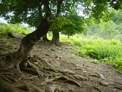 Old Trees (mohsenweb) Tags: travel trees summer tree green nature dark view natural jungle root   northofiran kelardasht  northiran