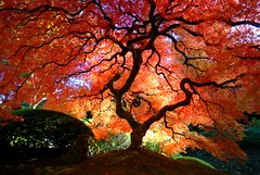 Japanese Maple in the Fall (Gigapic) Tags: autumn usa tree fall colors gardens oregon portland japanese landscapes nikon under interestingness1 sigma japanesemaple d80 bratanesque photofaceoffplatinum pfogold 3wayassignment87