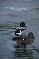 _DSC2877 (froller) Tags: sea bird nikon18200mm nikond300