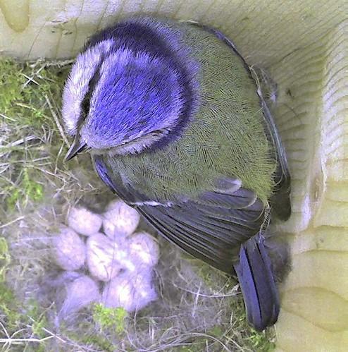 Seven Eggs and Mum (Blue tit nest 2007)