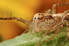 Lynx Spider (Dwi Janto Johan) Tags: macro hongkong spider nikon d70s micro lynx lantauisland reverselens tungchung sb24 sb25 br2a classarachnidaarachnids orderaraneaespiders kenkoexttube36mm subphylumchelicerata suborderopisthothelae canonfd24mm128ssc phylumarthropodaarthropods notaxonentelegynes infraorderaraneomorphaetruespiders fantasticinsect genusoxyopes familyoxyopidaelynxspiders speciessalticusstripedlynx stepdownring5552
