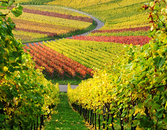 Vineyard (Habub3) Tags: travel autumn nature colors beautiful germany landscape deutschland photo vineyard nikon natur autumncolors andromeda landschaft farben weinberg d300 sonbahar renk herbstfarben doa tabiat zm ba almanya viewonblack anawesomeshot colorphotoaward holidaysvacanzeurlaub alemdagqualityonlyclub habub3
