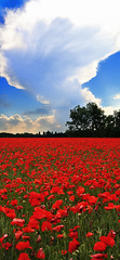 Poppy's Field (Michele Catania) Tags: poppy field papaver papavero papaveri poppys red blue sky azzurro rosso alberi trees high short side huge landscape view vista lolly friuliveneziagiulia friuli venezia giulia verticale vertical amazing wow canon canonefs1855mm canoneos400d abigfave flower green michelecatania grass