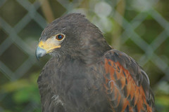 DSC_3537 (Waterfowl Medic) Tags: bird nature birds fly wings eagle hawk wildlife baldeagle raptor vulture raptors owls goldeneagle feathersraptor