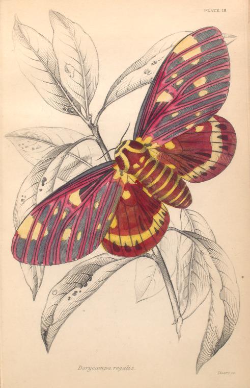 Dorycampa regalis.  (1843)