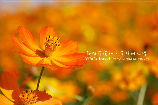 【新社花海節】新社花海行‧花現好心情-最新花海實況《黃波斯菊》