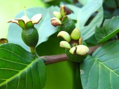 fecunded flowers Goiabeira. GOIABA - Guava. (P...