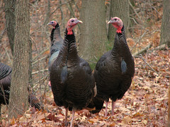 Wild Turkeys (Meleagris gallopavo)