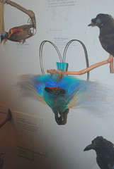 The Field Museum - Bird-of-Paradise - Chicago, IL (jrozwado) Tags: usa chicago bird museum illinois naturalhistory fieldmuseum taxidermy birdofparadise paradisaearudolphi