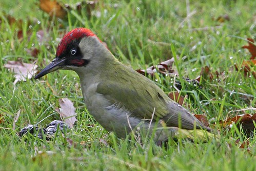 104194-IMG_3301 Green Woodpecker (Picus viridis) by ajmatthehiddenhouse.