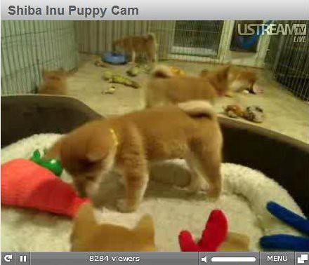 shiba inu puppy. Shiba Inu Puppy Cam