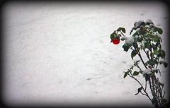 La neve se ne frega (Luca Morlok) Tags: flowers winter white snow milan cold flower verde ice gelo rose snowy milano rosa neve fiori fiore inverno bianco lombardia freddo nevicata pianta ghiaccio lombardy rossa imbiancata laneve