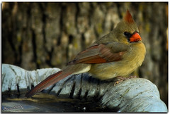 (ShutterByMe) Tags: friends bird oklahoma birds birdbath oklahomacity songbirds northerncardinal wildbirds blueribbonwinner backyardbirds supershot mywinners goldstaraward llovemypics tamronspaf200500mmf563di ©lanatrussell wwwshutterbymecom greatshotss