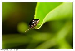 Nov_IMG_1814 (yimING_) Tags: macro ant bugs bee canonmpe65 dragonflydamselcanon mpe65macrobugsantbeedragon