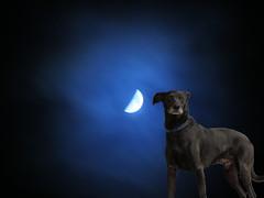 Hundars beteende påverkas eventuellt av månen