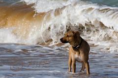 Dog on the beach (zane) Tags: dog beach see wave gozo canon30d
