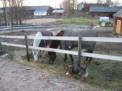 IMG_2987 (Niina J.) Tags: eläimet koirat osmo