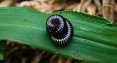 Cienpies (Pablin79) Tags: argentina bug insect posadas cienpies pabloreinschphotography