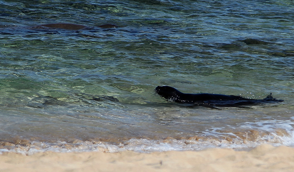 Ultra Rare Sighting!!! - See Mama Hawaiian Monk Seal Guarding Baby Close to Shore!!!