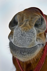 Smooch Me (riclane) Tags: horse closeup nose kiss equine smooch lmaoanimalphotoaward thoughtitwasacamel
