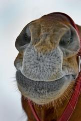 Smooch Me (riclane) Tags: horse closeup nose kiss equine smooch lmaoanimalphotoaward thoughtitwasacamel