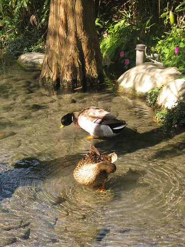 duck in the pond.JPG